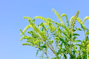 Ragweed-Allergies